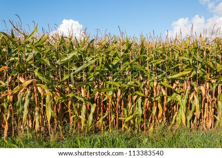 Closeup of growing silage maize ready for harvesting in the Netherlands..
