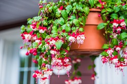 Closeup of hanging red and white fuchsia flowers potted plant basket at porch of home house building blurry background