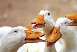 Closeup of happy ducks