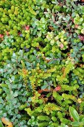 Closeup of hardy plants growing in miniature along the harsh Newfoundland coast.
