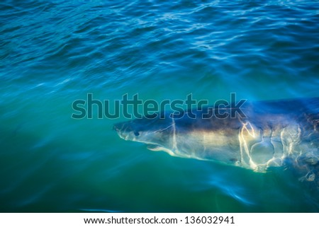 Closeup of head and open mouth of great white shark circling diver's cage in ocean water off coast of South Africa