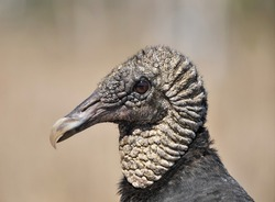 Closeup of head of Black Vulture (Coragyps atratus).