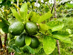 Closeup of healthy ripe lemons with some snails in a tree growing in an organic urban farm.
