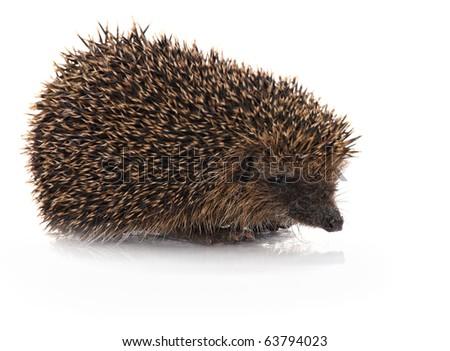 closeup of hedgehog on white background