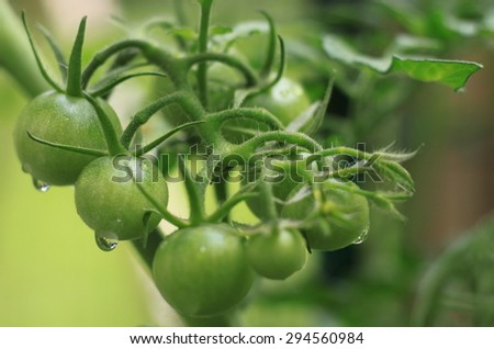 Closeup of homegrown organic cherry tomatoes growing in container garden not ripe with dew drops