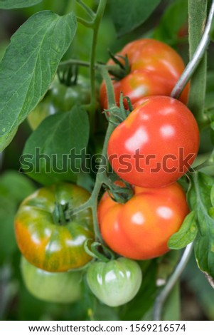 closeup of homegrown tomatos on the plant with visible foliage with many green and red fruits outside in the garden