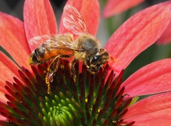Closeup of Honey Bee on a Colorful Corn Flower