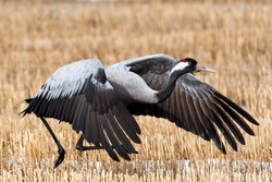Closeup of Huge Common crane take off. Finnish spring time, many migrant comes after cold winter. There is a little snow on the field.