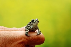 Closeup of human hand holding a tiny frog on a green blurred background