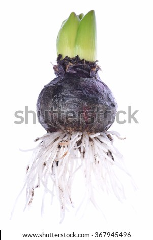 Closeup of hyacinth bulb isolated on white background #367945496