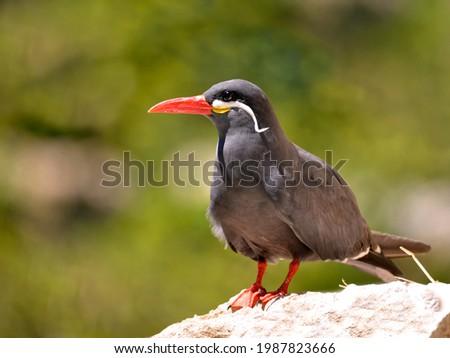 Closeup of Inca tern (Larosterna inca) on rock Сток-фото ©