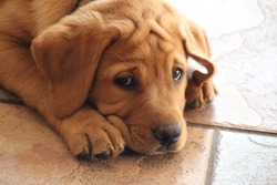 Closeup of isolated fox red Labrador retriever puppy lying on shiny brown tile floor in the sunshine looking at the camera with sad face causing forehead wrinkles in fur with shallow depth of field