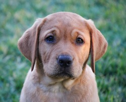 Closeup of isolated fox red Labrador retriever puppy sitting in the sunshine looking at camera with face in focus and shallow depth of field so green grass is blurry in the background