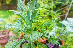 Closeup of lacinato kale and kohlrabi plants growing with caterpillar insect damage eaten leaves by bugs pests in tower garden potted container in summer