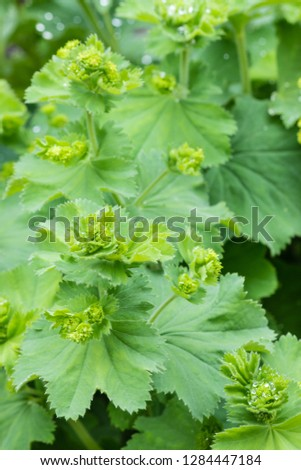 closeup of lady's mantle flowers and leaves