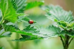 Closeup of Ladybug on green leaf. Beautiful ladybug in nature.
