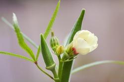 Closeup of Ladyfinger flower and okra