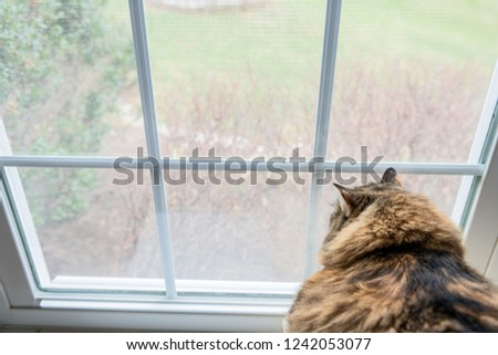 Closeup of large, overweight, fat female maine coon calico cat lying on chair inside, indoors, indoor, house, home room windowsill, sill, looking down, out, through window, outside, bird watching #1242053077