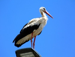 closeup of large white stork. black flight feathers and wing coverts, red beak and legs. perched on top of street lamp. low angle view. blue sky. scientific name Ciconia ciconia. migratory wading bird