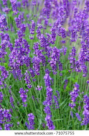 Closeup of lavender flowers on the field