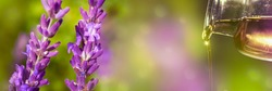 closeup of lavender oil from the medical bottle with isolated lavender flowers in sunhine on abstract beautiful blurred background, natural wellness concept with copy space