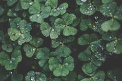 Closeup of Leaf clovers with Ice drops in the Cool Morning Day in Vintage style