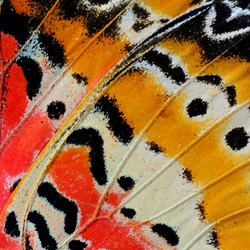 Closeup of Leopard Lacewing butterfly's wing.(Cethosia cyane)