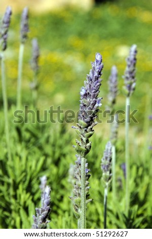 closeup of lflowers from a lavender plant