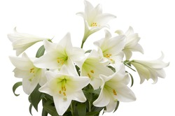 Closeup of lilies on a white background with clipping path.
