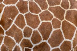 Closeup of live giraffe skin fur