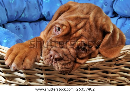 Closeup of Lovely Puppy lying in cot with thick paw