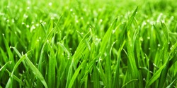 Closeup of lush uncut green grass with drops of dew in soft morning light