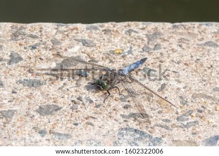 Closeup of male Broad-bodied Chaser (Libellula depressa)
