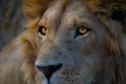 Closeup of male lion's head