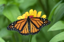Closeup of male Monarch Butterfly (Danaus plexippus) feeding on yellow Zinnia flower in Quebec,Canada. Background is leafy green.