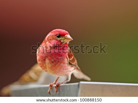Closeup of male purple finch perched on edge of tray-style bird feeder
