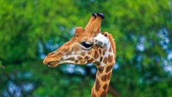 closeup of male Rothschild Giraffe (Giraffa camelopardis rothschildi) showing its bald and knobs type ossicones, against green foliage background