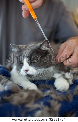 Closeup of man giving a Persian cat a haircut. Selective focus on cat's face.