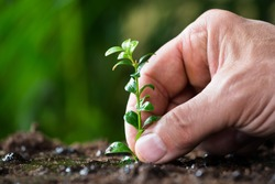 Closeup of man's hand planting small tree on ground