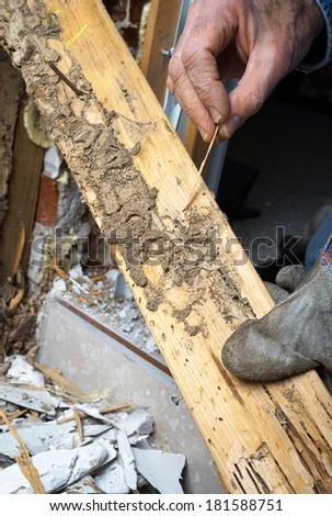 Closeup of man\'s hand pointing out termite damage and a live termite.