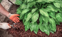 Closeup of man wearing gardening gloves and using spade trowel to apply brown mulch around hosta plants in garden to control weeds, man putting mulch in yard, landscaping, home improvement, decorative