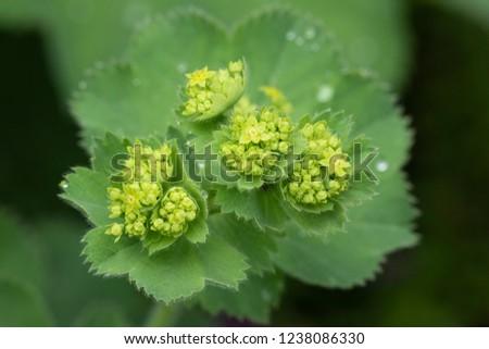 Closeup of Mantle flowers (Alchemilla mollis) in water drops after rain. Lady's-mantle - perennial garden ornamental plant. Selective focus.