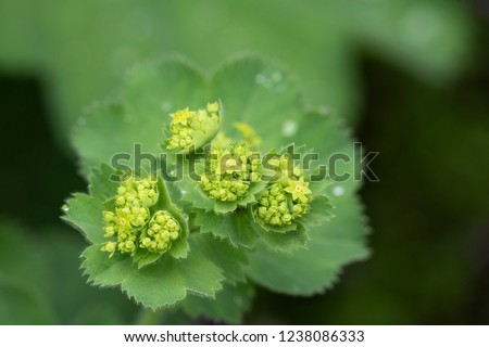 Closeup of Mantle flowers (Alchemilla mollis) in water drops after rain. Lady's-mantle - perennial garden ornamental plant. Selective focus.