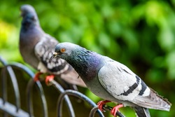 Closeup of many pigeons birds sitting perching on metal railing fence with bokeh blurry background in London England UK in St James's park