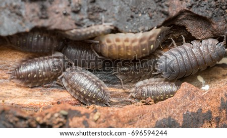 Closeup of many woodlice on wood