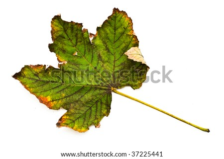 Closeup of maple autumn leaf on white background