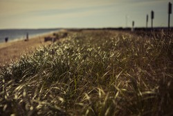 Closeup of marram fine grass, water, beach, few people and blue cloudless sky in the background, in warm sepia colors