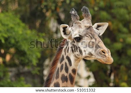 Closeup of Masai Giraffe Head