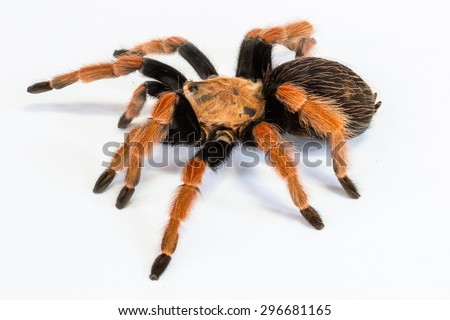 Closeup of mexican Fireleg or Rustleg Tarantula, isolated on white background. #296681165