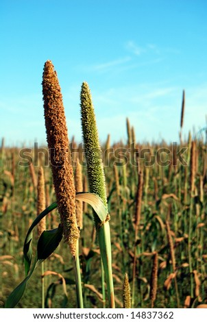 Closeup of millet ears on a field